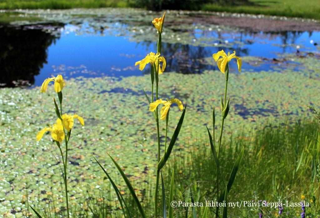 Turun yliopiston kasvitieteellisessä puutarhassa Ruissalossa on heinäkuista kukkaloistoa. Keltakurjenmiekka viihtyy lummelammikon reunustalla.