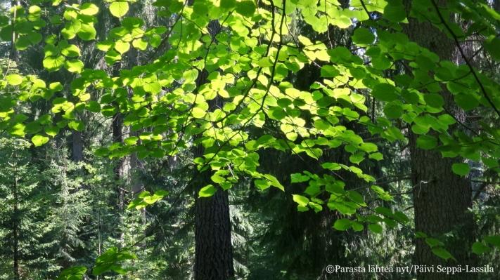Vihreää kultaa Aulangon puistometsässä
