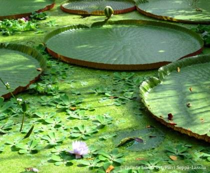 Jättilumme löytyy Kasvitieteellisen puutarhan kasvihuoneesta.