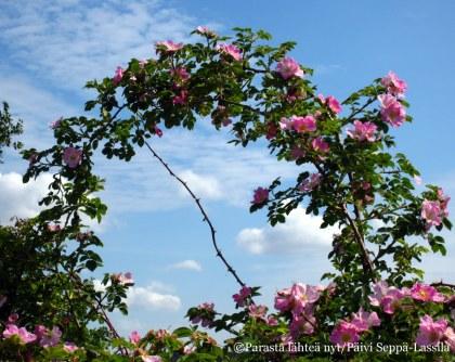 Kolkassa kukki jokin villiruusulajike, nimestä ei ole tietoa.