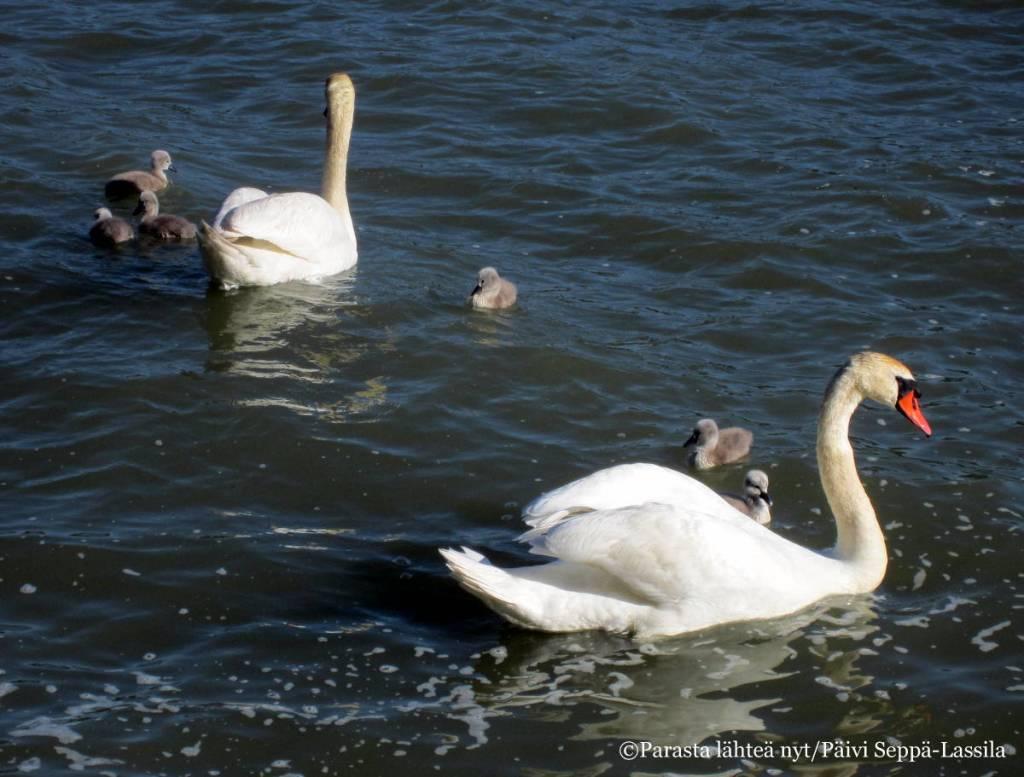 Joutsenpariskunnalla oli alkukesällä kuusi poikasta.