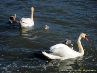25. Joutsenpariskunnalla oli alkukesällä kuusi poikasta.