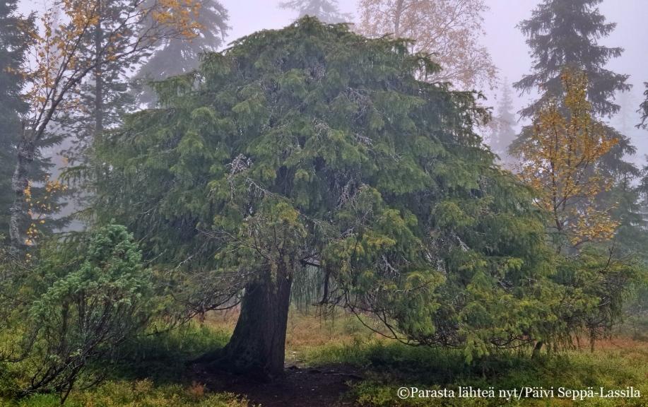 Tapionpöytä eli pöytäkuusi tarkoittaa latvatonta metsäkuusta, joka kasvaa vaakasuuntaan, mutta ei juuri lainkaan ylöspäin.