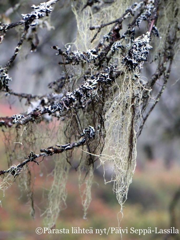Puiden oksilla kasvoi naavaa.