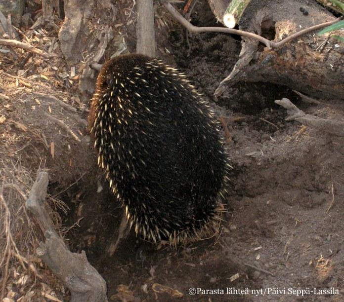 Myös nokkasiiili on Healesvillen asukkaita. Nokkasiilit ja vesinokkaeläin ovat ainoita munivia nisäkkäitä.