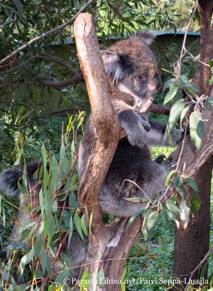 Koalat elävät eukalyptuspuun lehdillä.