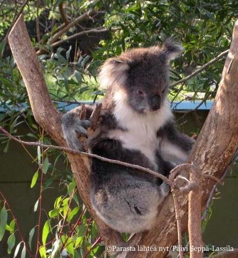 Koala on luonnossakin yhtä pehmoeläimen näköinen kuin kuvissakin.