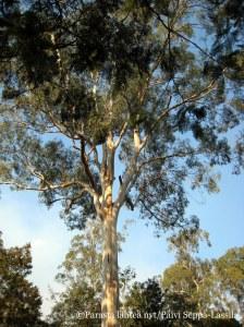 Eukalyptuksia kasvaa Australiassa lähes kaikkialla ja ne ovat sopeutuneet mantereen kaikkiin ilmastoihin.