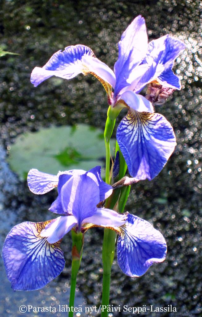 Sininen iris on kuvattu Ruissalon kasvitieteellisessä puutarhassa.