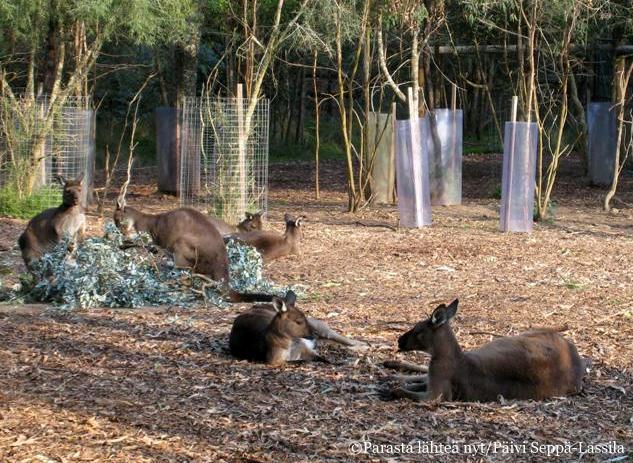 Kenguruita löytyy joka koossa, pienistä isoihin.
