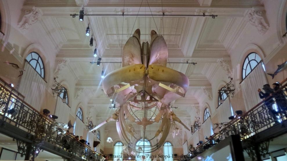 Valaan luuranko yläkerran näyttelytiloista.