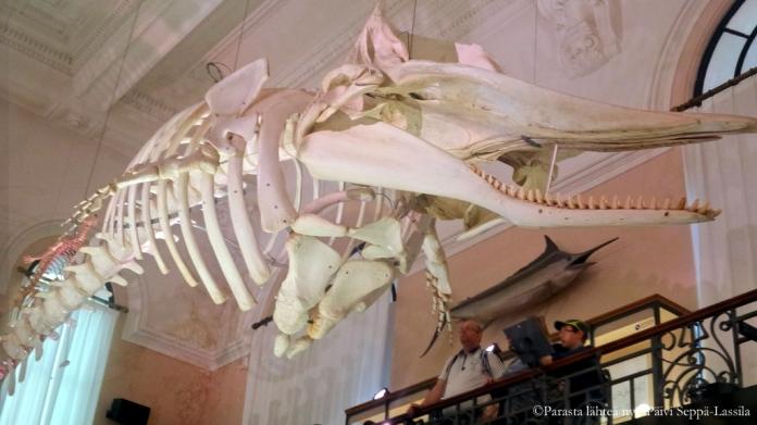 Valaan luuranko on nähtävillä yläkerran näyttelytiloissa.