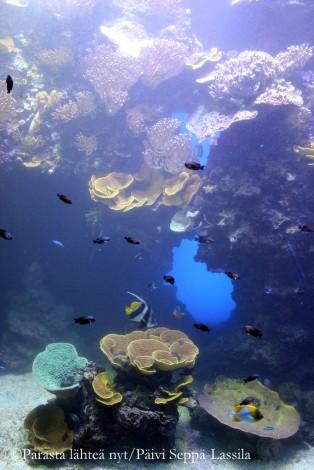 Akvaarion värikkaitä asukkaita.