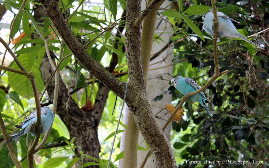 Undulaatit ja neitokakadut lentävät vapaasti kasvihuoneessa.