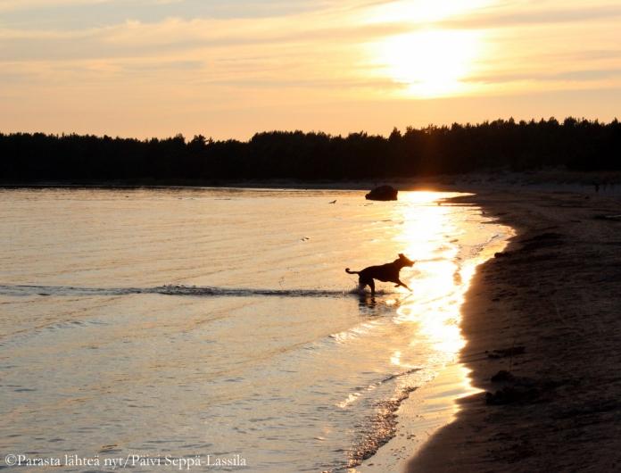 Tämä koira oli väsymätön pallonnoutaja. Kuva on Yyterin rannalta, ei varsinaiselta koirarannalta.