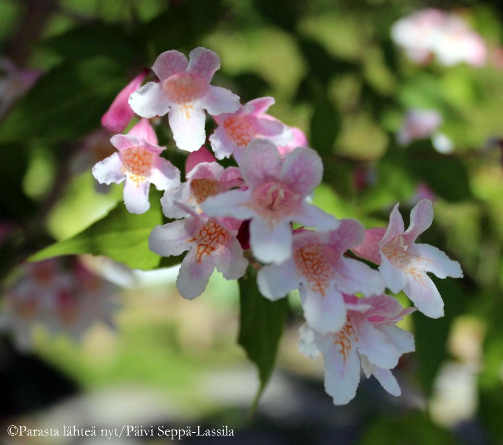 Kellokuusamat kukkivat Villa Kuuvan puutarhassa heinäkuussa.