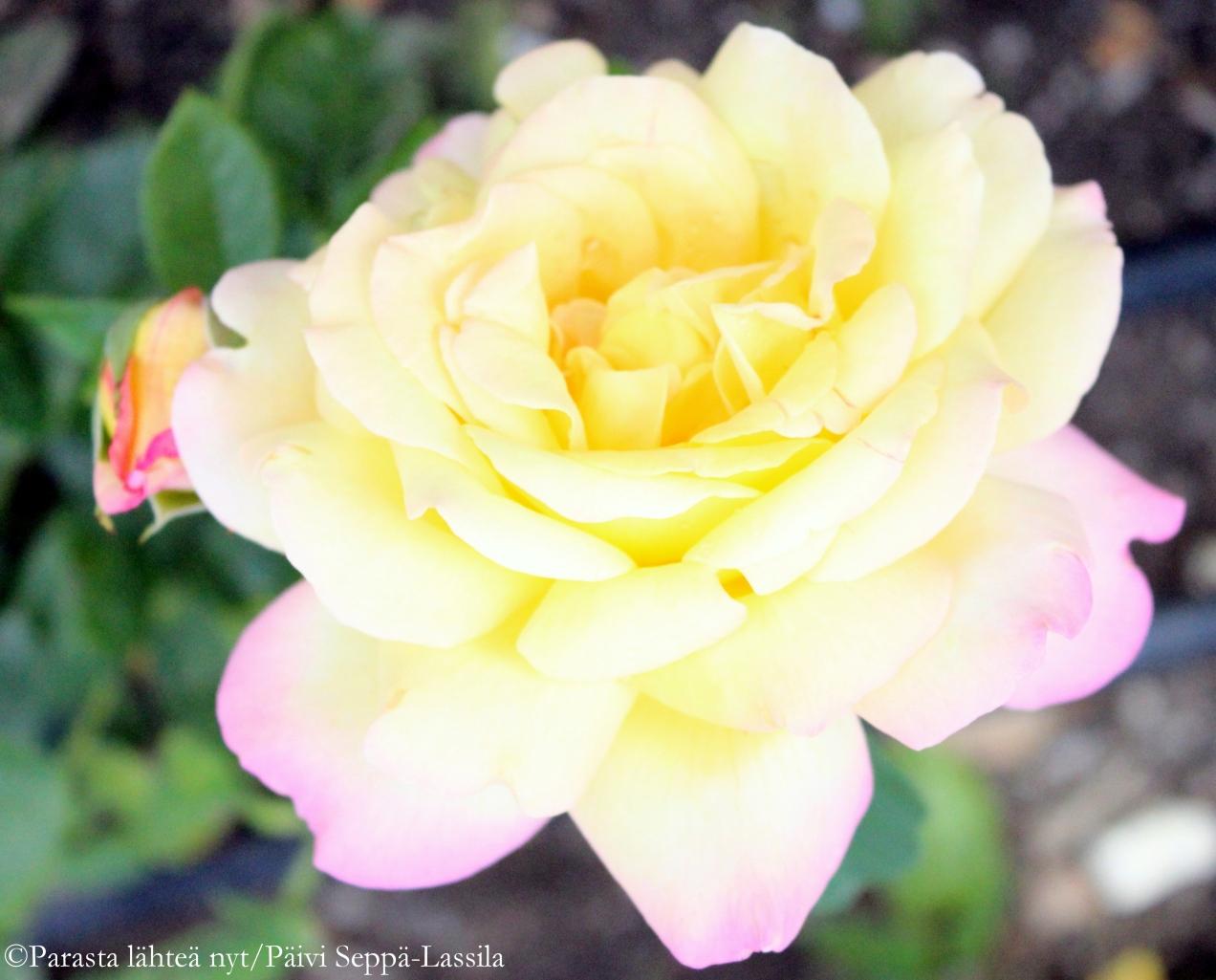 Elokuu saakoon oman ruusunsa ja se on Peace.