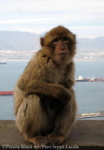 Gibraltarilla elää Euroopan ainoa apina, magotti.
