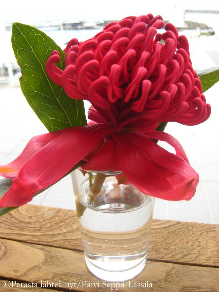 Protea-kukka on peräisin Etelä-Afrikasta, mutta tässä kuvattuna Azoreilla.