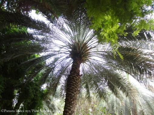 Taivas siintää palmun läpi Creekside-puistossa.