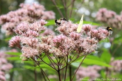 Purppurapunalatva houkutteli luokseen hyönteisiä. Pehosta en saanut kuvattua siivet levällään.