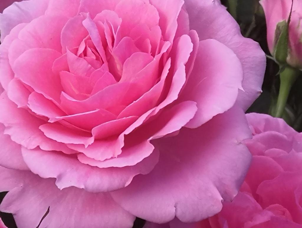 vaaleanpunainen ruusu lähikuvassa