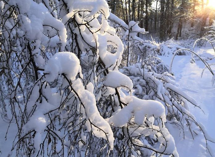 Aurinko valaisee lumella kuorrutettuja oksia