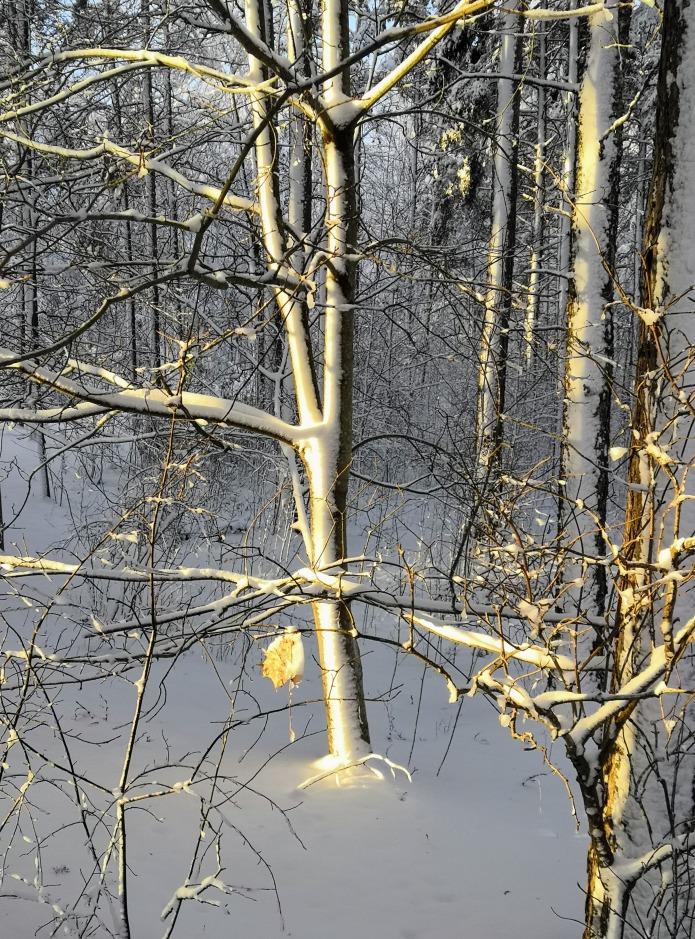 Lumen kuorruttamia puunrunkoja, yksi kuivunut lehti roikkuu oksasta