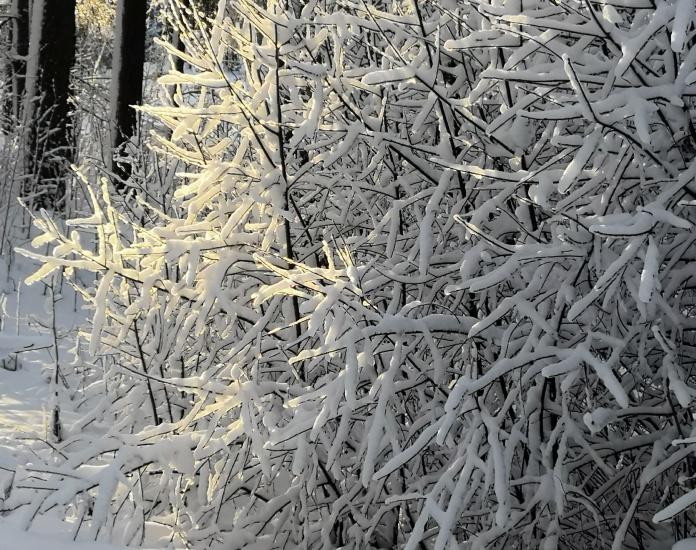 Lumen huurruttmia pensaan oksia