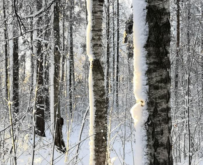 Lumen kuorruttamia puunrunkoja